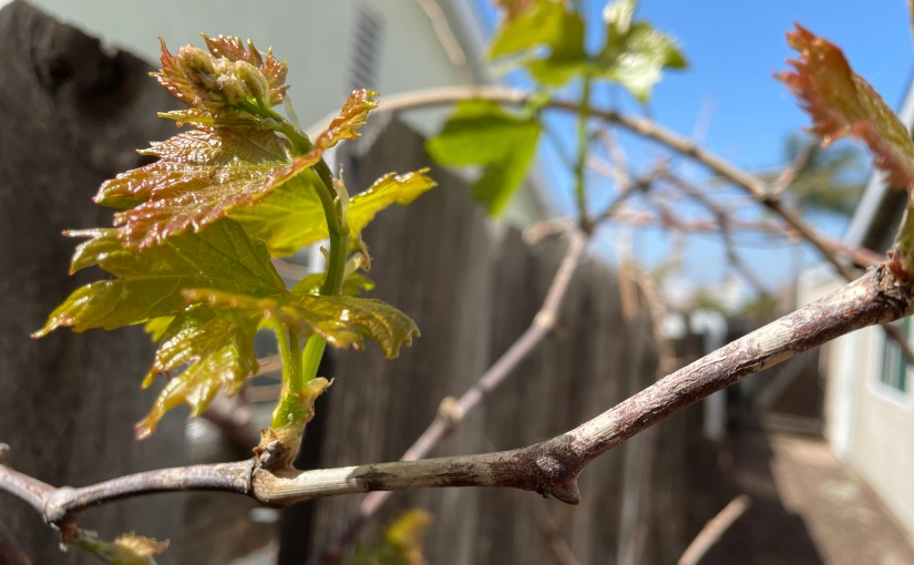 New Life From Old Vines